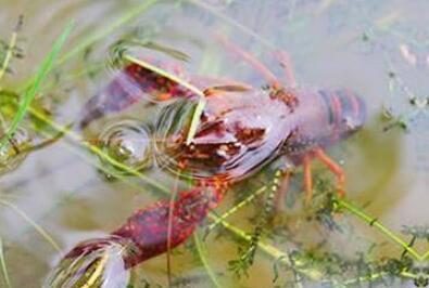 小龙虾下雨天要喂食吗?