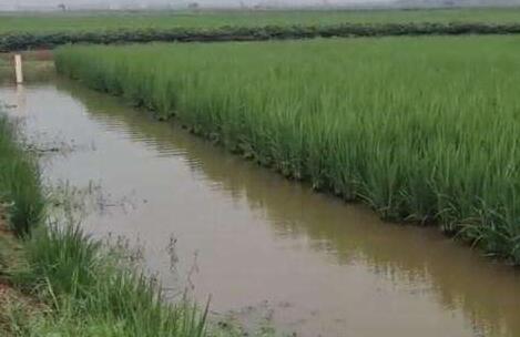 稻田龙虾为什么要挖一条深沟?