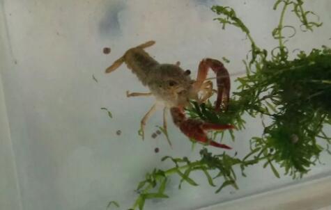 小龙虾饲料投喂方法技巧有哪些?