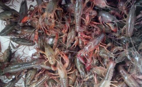 4月份龙虾繁殖吗?