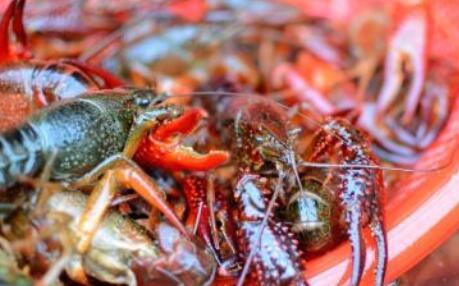 小龙虾成长时间是多少?