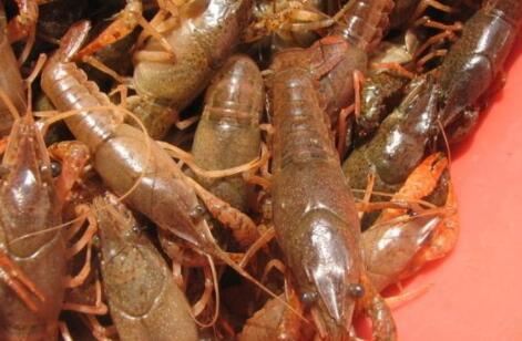 小龙虾适合哪里养殖?