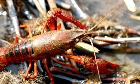 陕西能养龙虾吗?