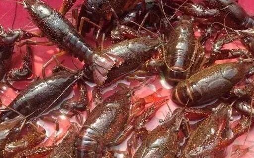 2020养殖20亩龙虾可赚多少钱?