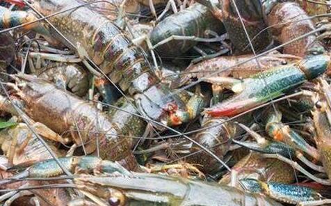 农村养殖小龙虾一亩可赚多少钱?