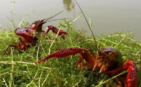 小龙虾网箱养殖可以吗?