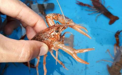 现在养10亩龙虾赚多少钱?