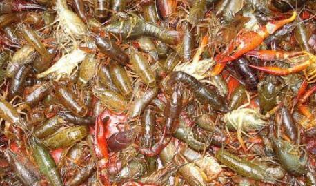 养殖龙虾一亩收多少斤是比较理想的?