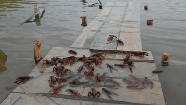 稻田养殖小龙虾失败的原因有哪些?