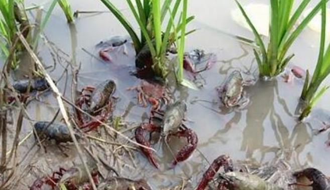 稻田养殖小龙虾产量如何?