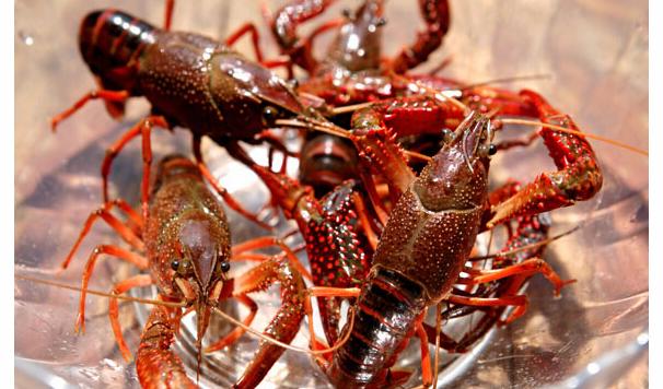 2020小龙虾养殖要破产?