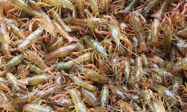 2020年养殖小龙虾价格怎么样?