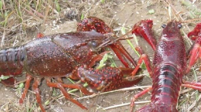 养殖小龙虾冬天如何预防疾病?