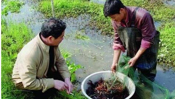 养殖小龙虾池塘怎么种植水草呢?