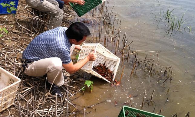 水稻田里怎样养小龙虾呢?