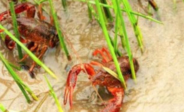 小龙虾和泥鳅能一起混养吗?