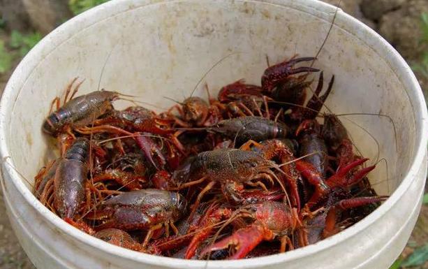 小龙虾养殖几月份才开始繁殖呢?