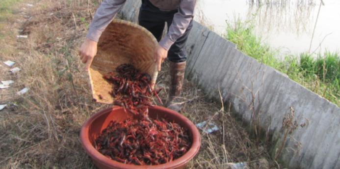 虾稻共养模式养殖小龙虾亩产能达到多少呢?