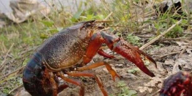 养殖户养殖小龙虾销售的渠道有哪些?