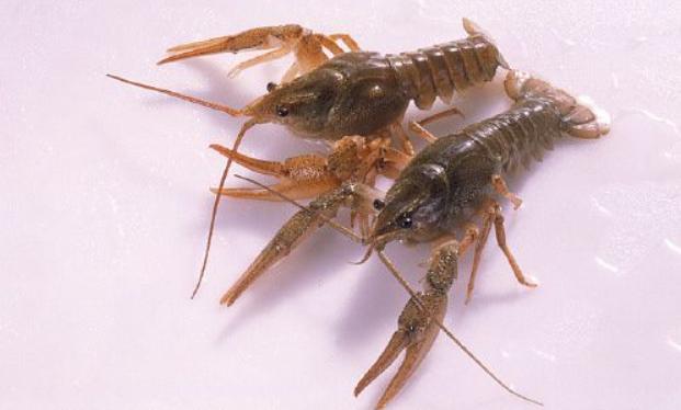 一般养殖小龙虾生长周期在什么时间段?