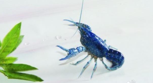 2020养殖小龙虾一亩地所投入的成本费用是多少?
