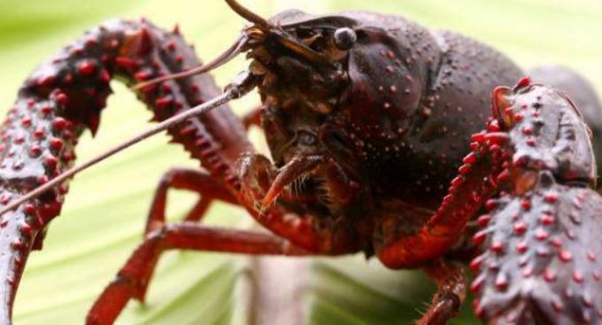 养殖小龙虾喜欢吃什么肉呢?