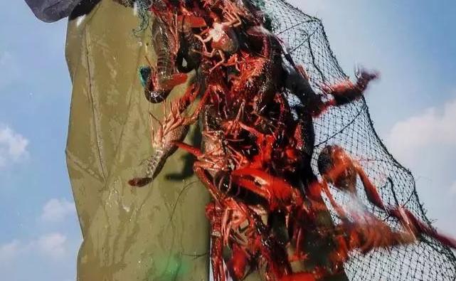 小龙虾温室大棚养殖模式四季产量如何?