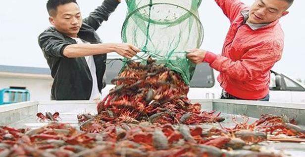 2020.6.13养一亩池塘的小龙虾能赚多少钱?