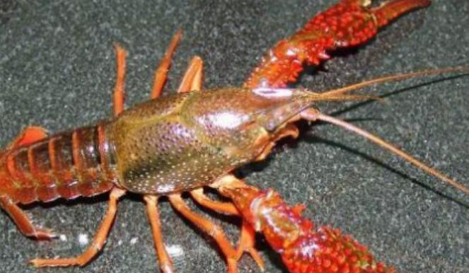 秧田里养小龙虾会跑出来吗?怎么防范?