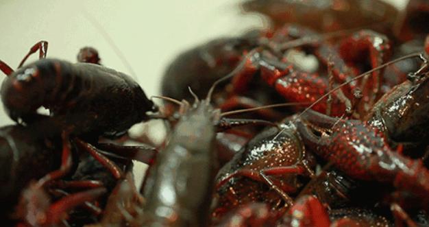 2020年养殖小龙虾养殖现状怎么样?市场行情好吗?