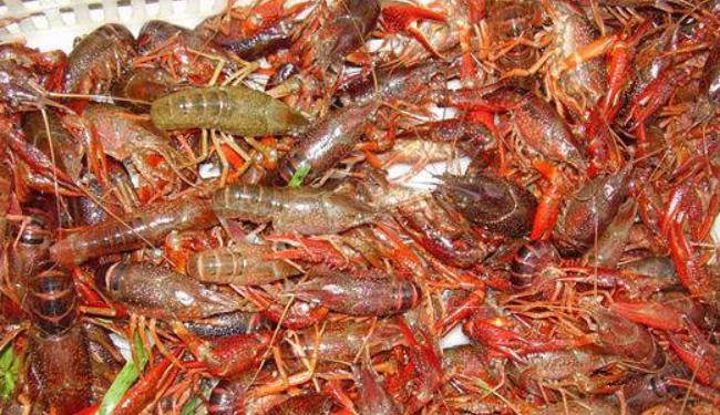 小龙虾养殖场里该种什么草?