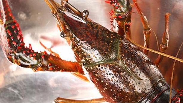 2020年养小龙虾前景如何?