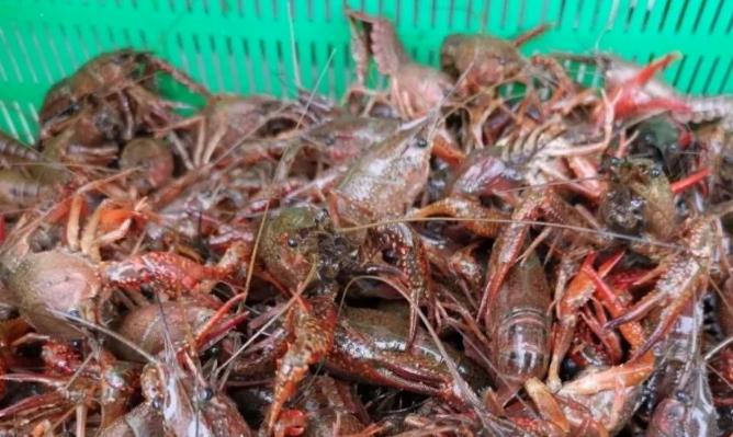家养小龙虾需要喂什么食物?