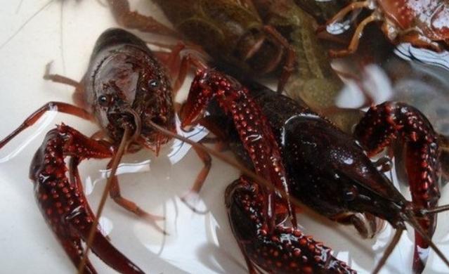 一亩地鱼塘能养多少斤龙虾?