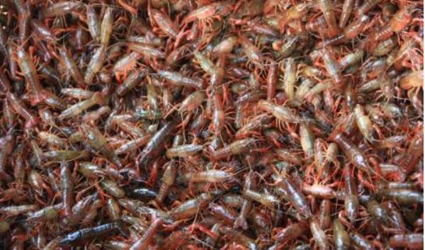 冬季大棚养殖小龙虾怎样给水加温?