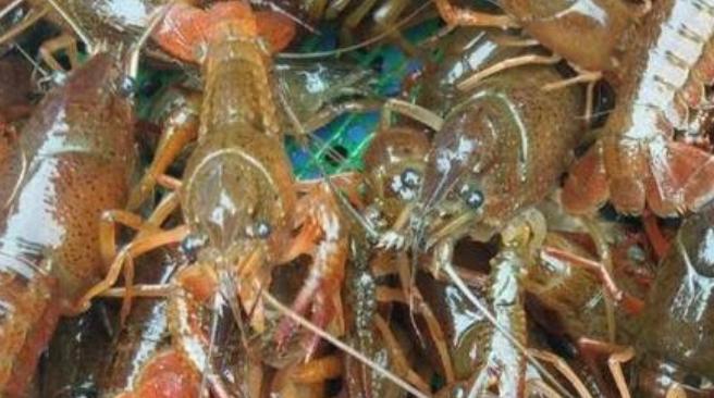池塘能养小龙虾理论利润有多少?