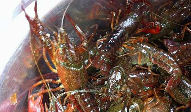 养殖的小龙虾吃什么长大的?