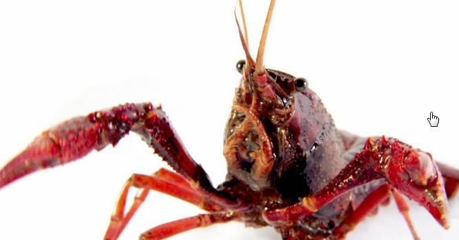 养殖小龙虾的真实利润有多少?