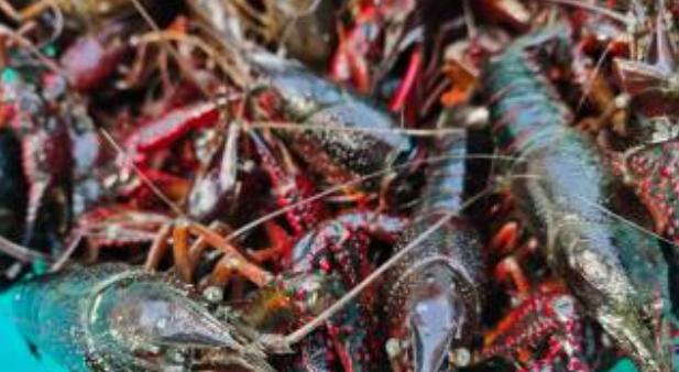 水泥池养殖小龙虾的要求高吗?