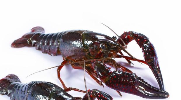 淡水小龙虾人工养殖能成功吗?