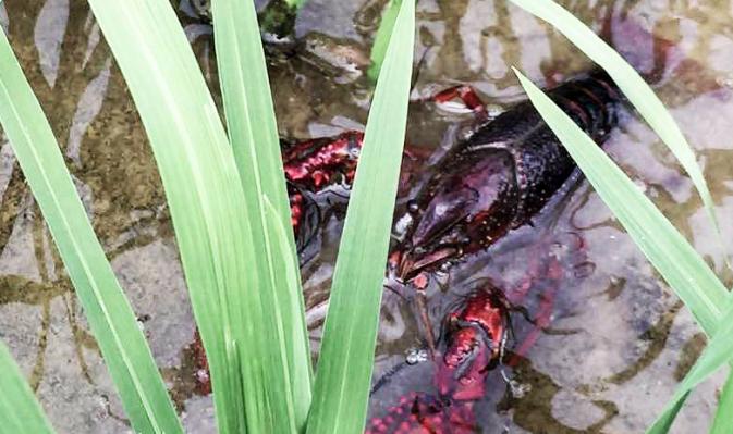 北海的小龙虾市场多少钱一斤?