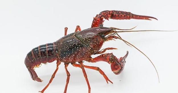 孕妇早期能吃小龙虾吗?