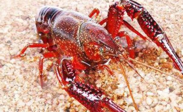 池塘精养小龙虾如何增氧?