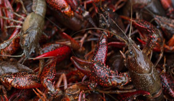 冬季养殖小龙虾结冰了怎么办?