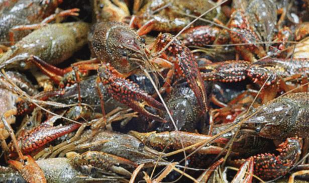 淡水小龙虾人工养殖技术要求?