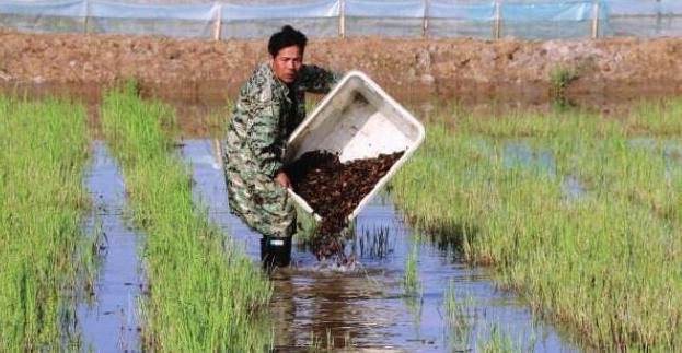 小龙虾水泥池如何无土养殖呢?