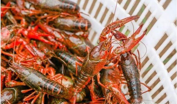 小龙虾养在稻田里有影响吗?