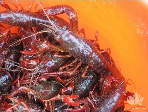 小龙虾肠炎的预防治疗