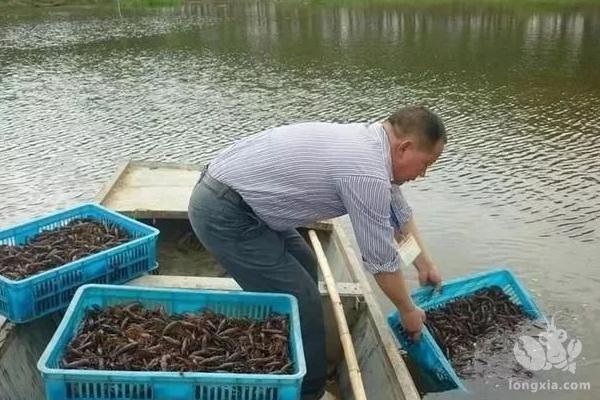 池塘里养小龙虾该怎么养?