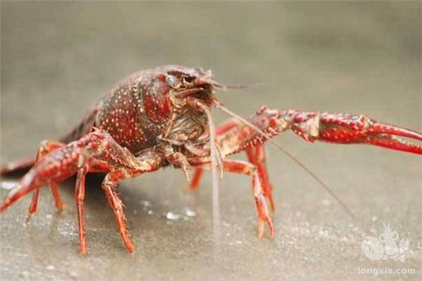 养殖小龙虾中毒是哪些原因造成的?怎么处理?